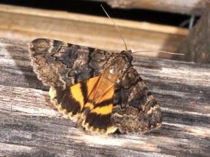 NYMPHAGOGA-20090726-1